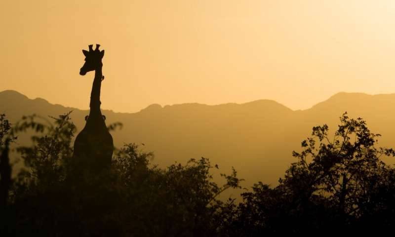 South Africa giraffe and trees silhouette